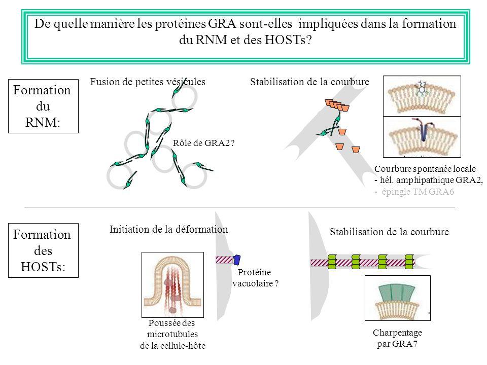 De quelle manière les protéines GRA sont-elles impliquées dans la formation du RNM et des HOSTs? Formation du RNM: Fusion de petites vésicules Rôle de