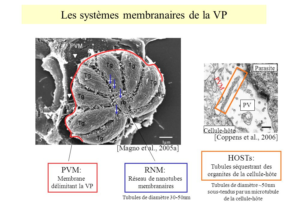 Les systèmes membranaires de la VP [Magno et al., 2005a] RNM: Réseau de nanotubes membranaires HOSTs: Tubules séquestrant des organites de la cellule-