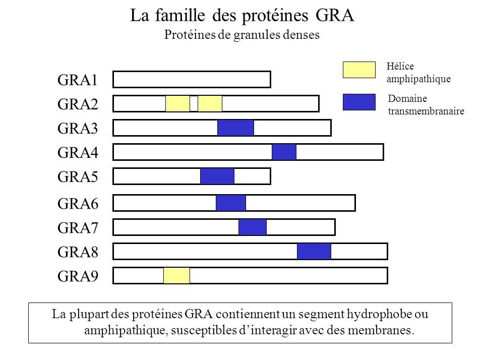 La famille des protéines GRA Protéines de granules denses GRA1 GRA2 GRA3 GRA4 GRA5 GRA6 GRA7 GRA8 GRA9 Domaine transmembranaire Hélice amphipathique L