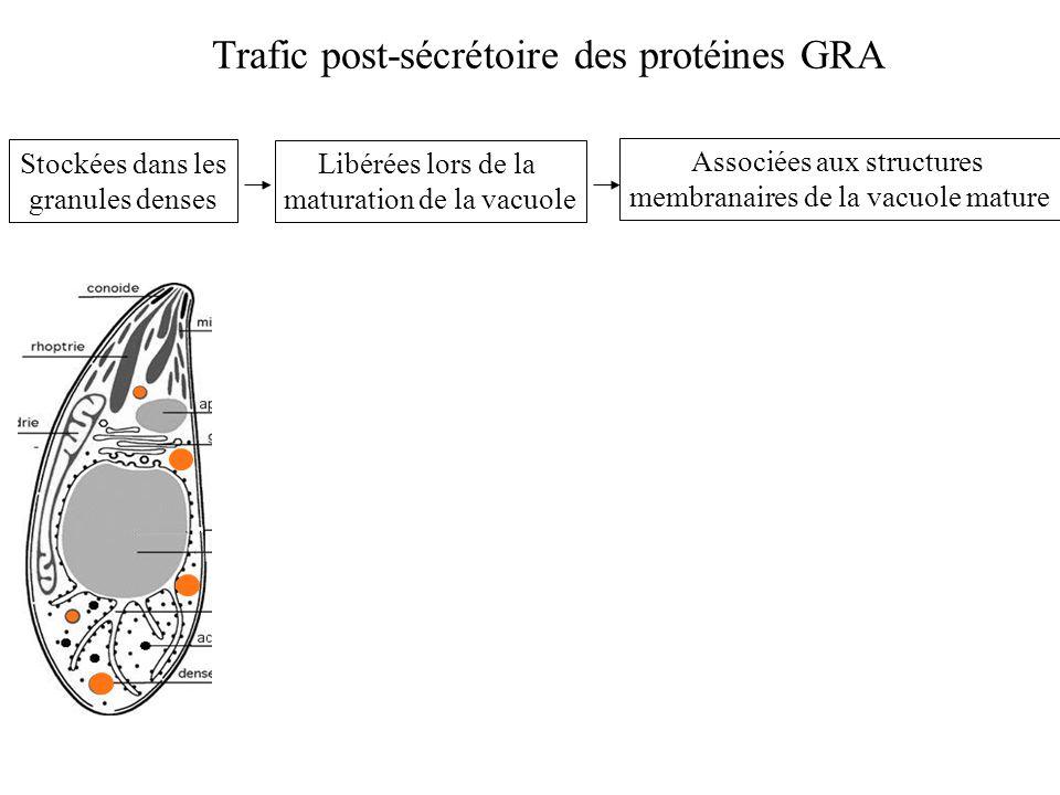 Associées aux structures membranaires de la vacuole mature Stockées dans les granules denses Libérées lors de la maturation de la vacuole Trafic post-