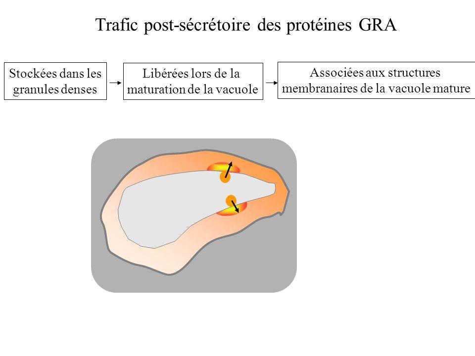 d=1.13 d=1.01 Protéines à analyser Gradient linéaire de glycérol Centrifugation jusquà léquilibre (100 000g; 17h) Analyse des formes solubles des protéines GRA Chaque protéine sédimente jusquà une densité isopycnique spécifique.