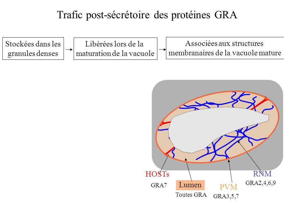 Trafic post-sécrétoire des protéines GRA Stockées dans les granules denses Libérées lors de la maturation de la vacuole Associées aux structures membranaires de la PV mature PVM HOSTsRNM Lumen GRA7 Toutes GRA GRA3,5,7 GRA2,4,6,9 Bien que contenant pour la plupart des domaines hydrophobes, les protéines GRA existent en partie sous des formes solubles tout au long de leur trafic post-sécrétoire.