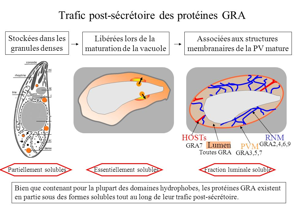 Interactions des protéines avec les membranes de la VP Rôle de GRA2 et GRA6 dans la formation du RNM [Mercier et al., 2002] En parasite sauvage: Tubules homogènes En labsence de GRA2: Matériel granulaire, non structuré En labsence de GRA6: Vésicules RNM [Coppens et al., 2006] Rôle de GRA7 dans la formation des HOSTs .