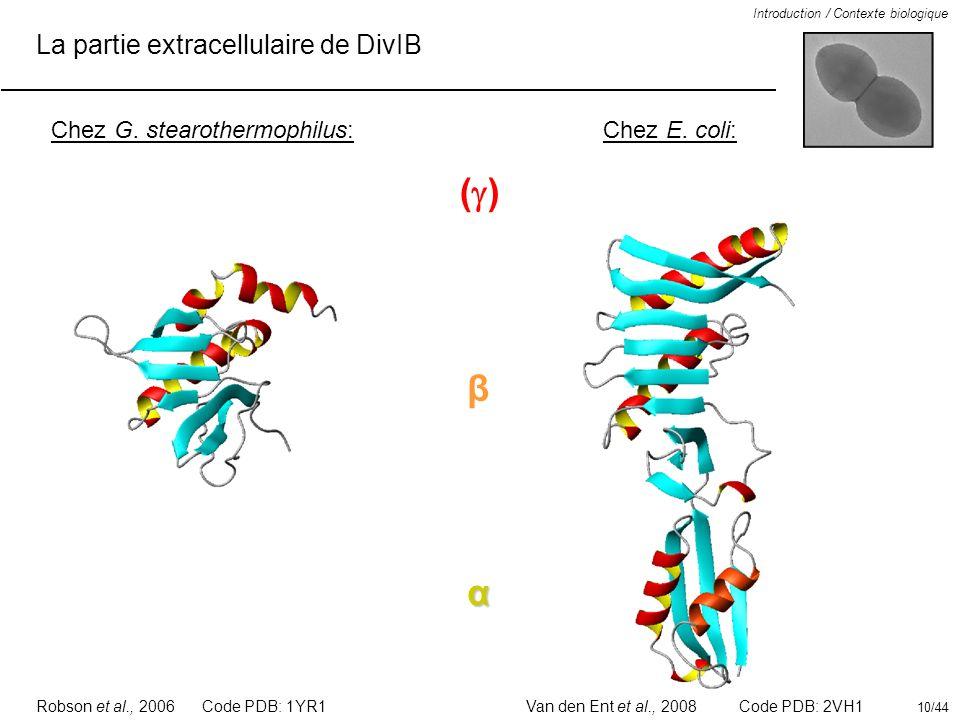 La partie extracellulaire de DivIB Introduction / Contexte biologique Chez E. coli:Chez G. stearothermophilus: Code PDB: 1YR1 α β ( ) Code PDB: 2VH1Ro