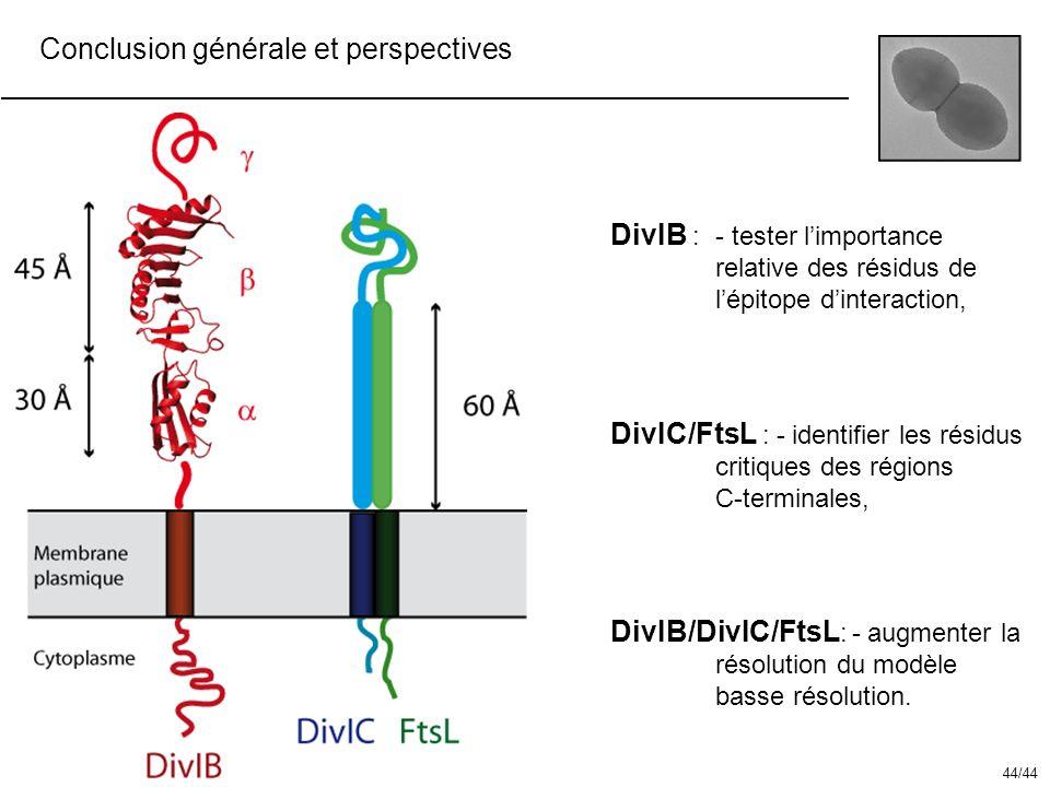 Conclusion générale et perspectives DivIB :- tester limportance relative des résidus de lépitope dinteraction, DivIB/DivIC/FtsL : - augmenter la résol