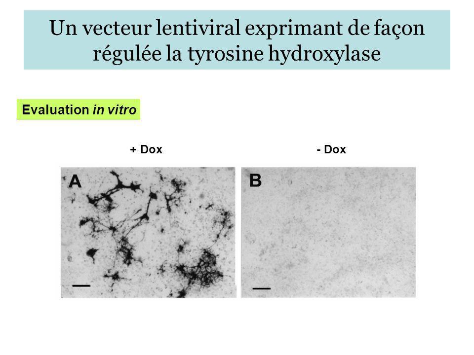 Un vecteur lentiviral exprimant de façon régulée la tyrosine hydroxylase + Dox- Dox Evaluation in vitro