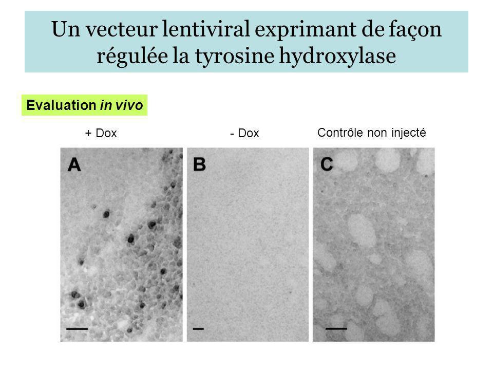 Un vecteur lentiviral exprimant de façon régulée la tyrosine hydroxylase Evaluation in vivo + Dox- Dox Contrôle non injecté