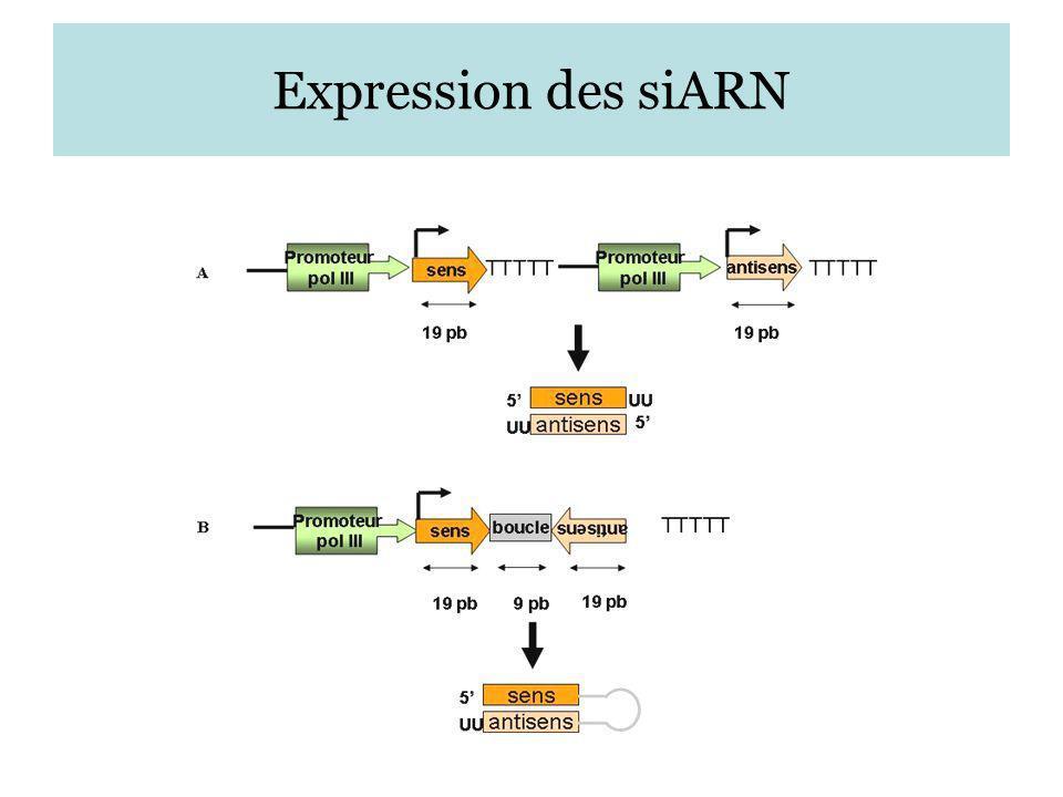 Expression des siARN