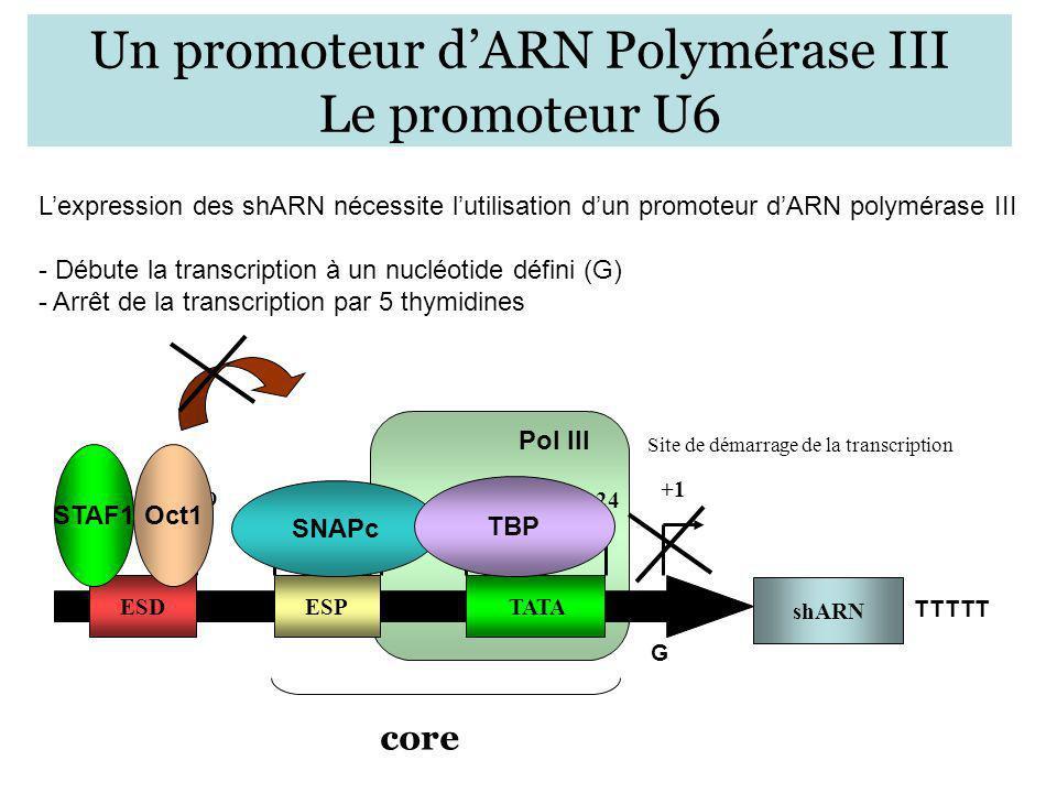 Pol III +1 Un promoteur dARN Polymérase III Le promoteur U6 Lexpression des shARN nécessite lutilisation dun promoteur dARN polymérase III - Débute la
