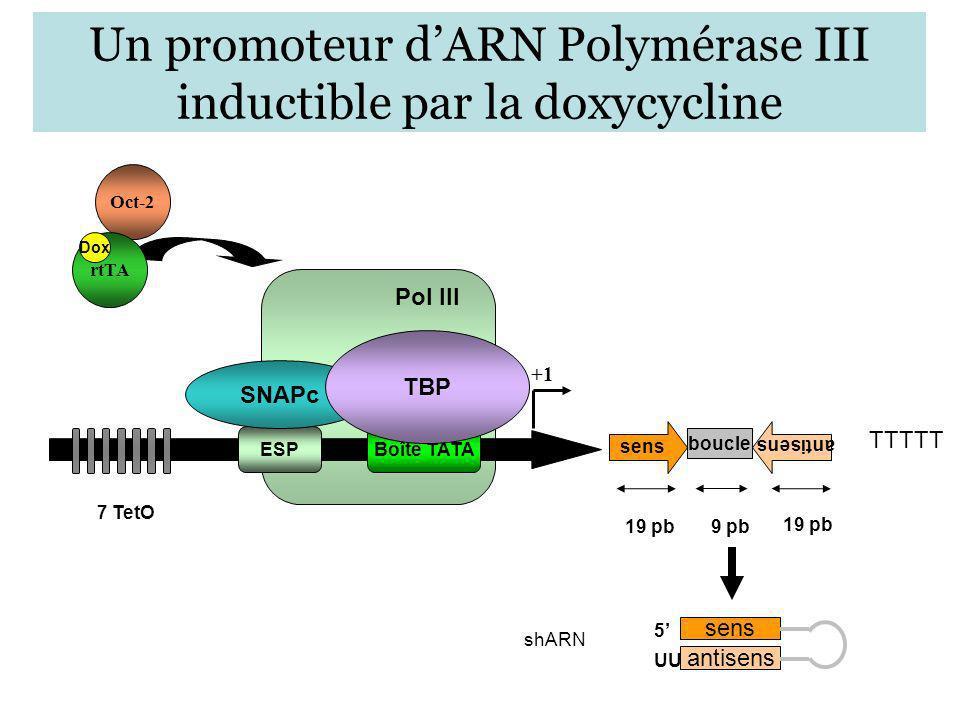 Pol III Un promoteur dARN Polymérase III inductible par la doxycycline ESPBoîte TATA 7 TetO +1 SNAPc TBP sens boucle antisens TTTTT 19 pb 9 pb antisen