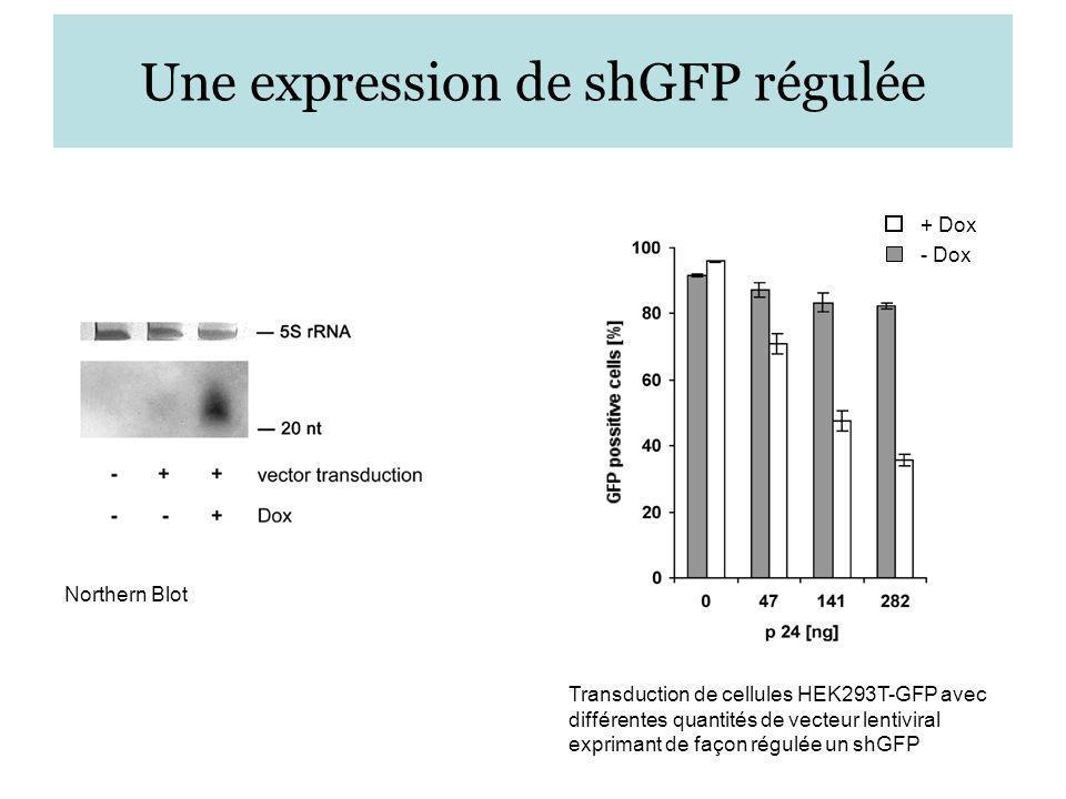 Une expression de shGFP régulée + Dox - Dox Northern Blot Transduction de cellules HEK293T-GFP avec différentes quantités de vecteur lentiviral exprim