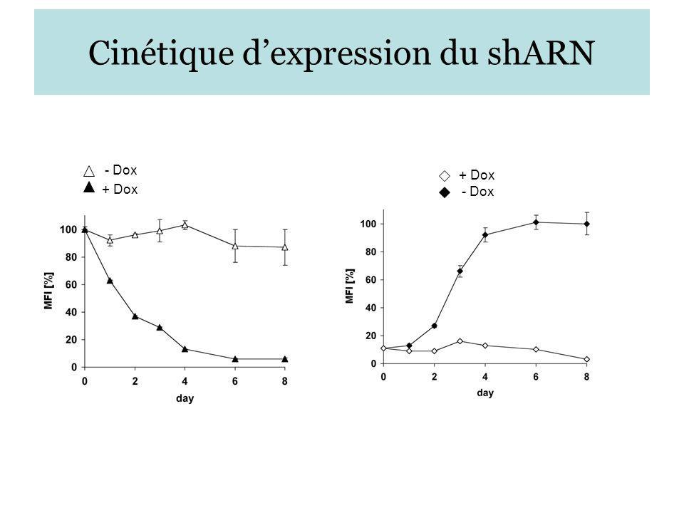 Cinétique dexpression du shARN - Dox + Dox - Dox