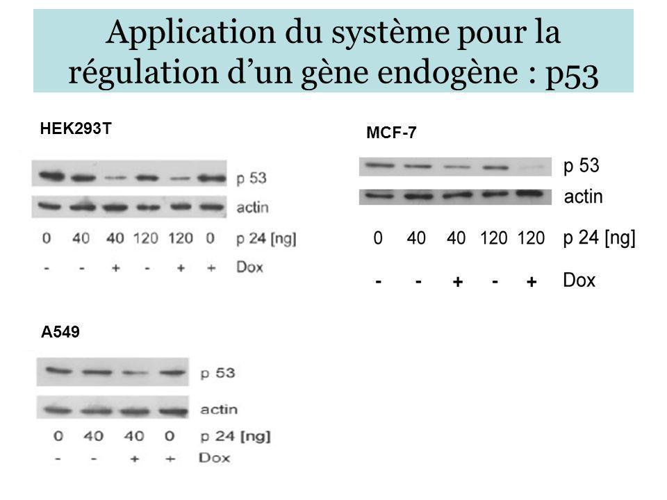 Application du système pour la régulation dun gène endogène : p53 HEK293T A549 MCF-7