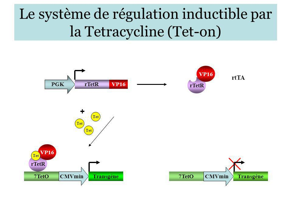 Le système de régulation inductible par la Tetracycline (Tet-on) PGK rTetR VP16 rtTA Tet + rTetR VP16 Tet 7TetO CMVmin Transgène 7TetO CMVmin Transgèn