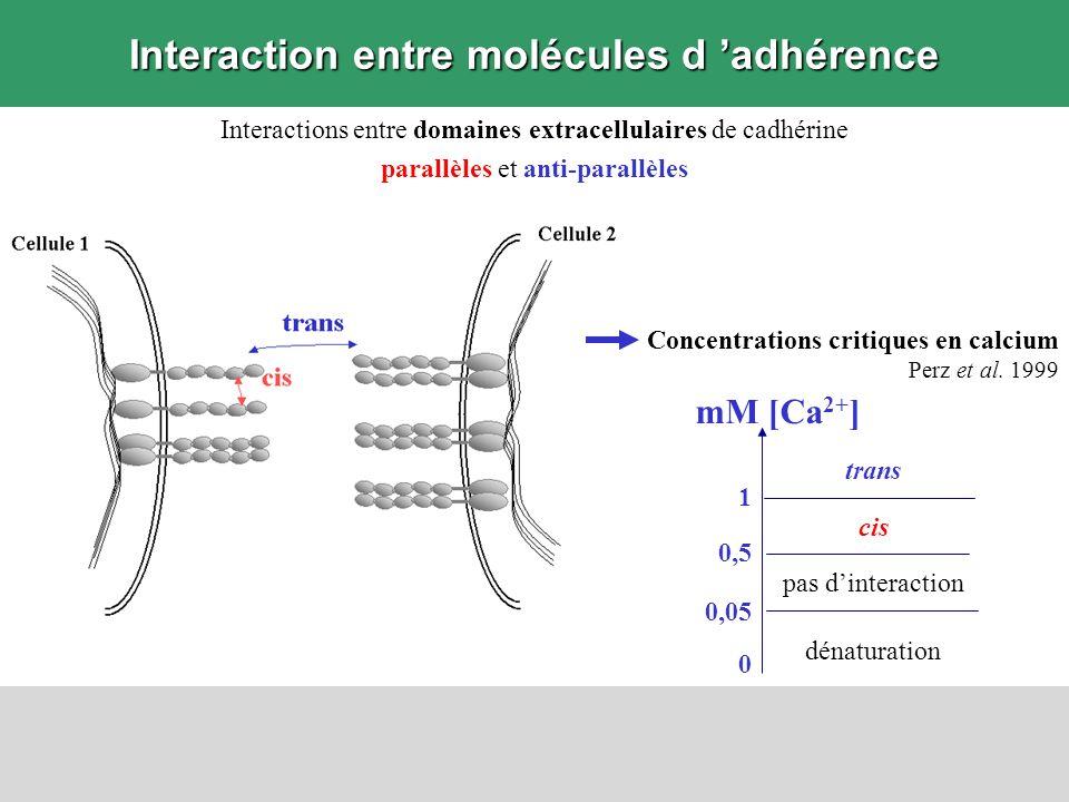 Interaction entre molécules d adhérence Interactions entre domaines extracellulaires de cadhérine parallèles et anti-parallèles Concentrations critiqu
