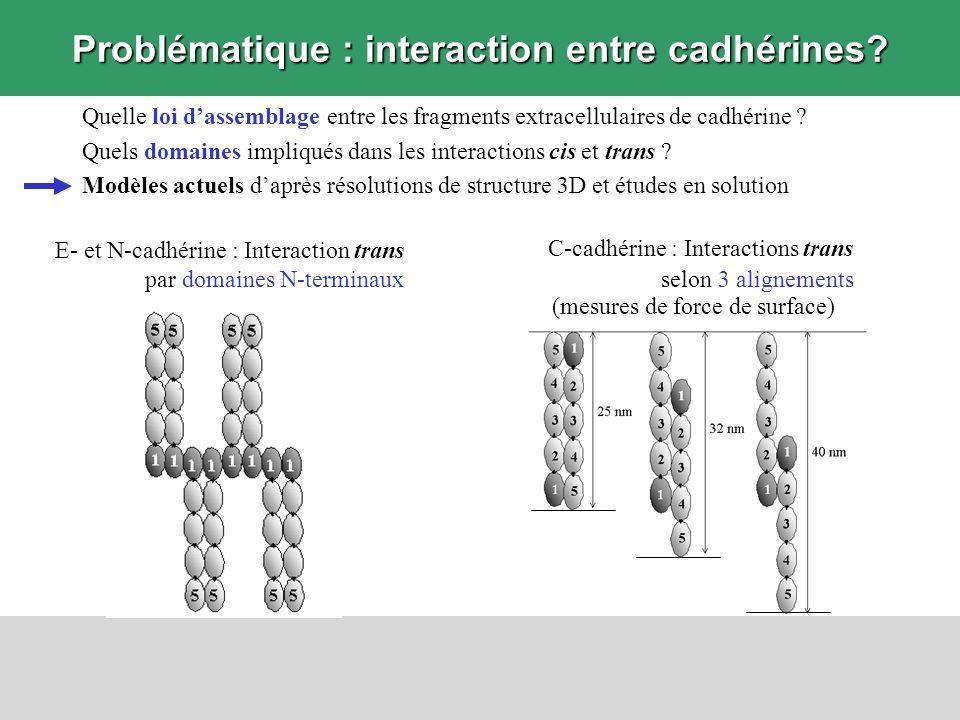 Problématique : interaction entre cadhérines? Quelle loi dassemblage entre les fragments extracellulaires de cadhérine ? Quels domaines impliqués dans