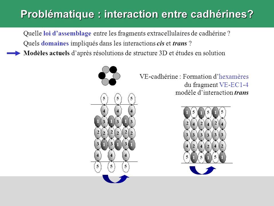 Problématique : interaction entre cadhérines? VE-cadhérine : Formation dhexamères du fragment VE-EC1-4 modèle dinteraction trans Quelle loi dassemblag