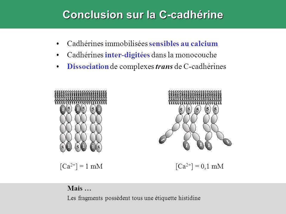 Conclusion sur la C-cadhérine Cadhérines immobilisées sensibles au calcium Cadhérines inter-digitées dans la monocouche Dissociation de complexes tran