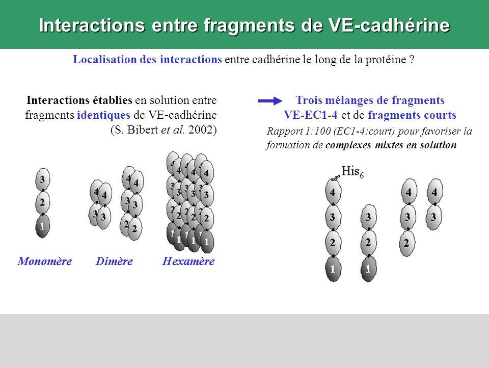Interactions entre fragments de VE-cadhérine Localisation des interactions entre cadhérine le long de la protéine ? Interactions établies en solution