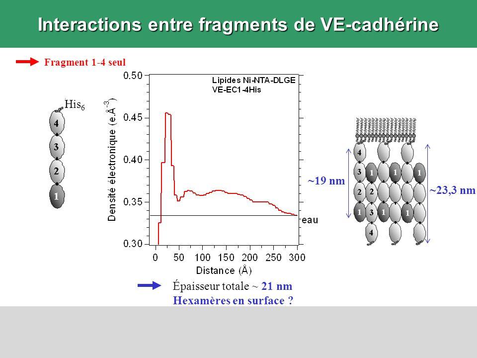 Interactions entre fragments de VE-cadhérine Épaisseur totale ~ 21 nm Hexamères en surface ? Fragment 1-4 seul ~19 nm ~23,3 nm His 6