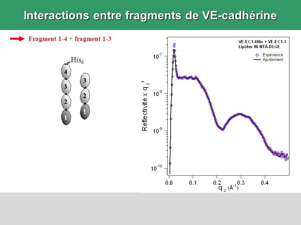 Interactions entre fragments de VE-cadhérine Fragment 1-4 + fragment 1-3 His 6