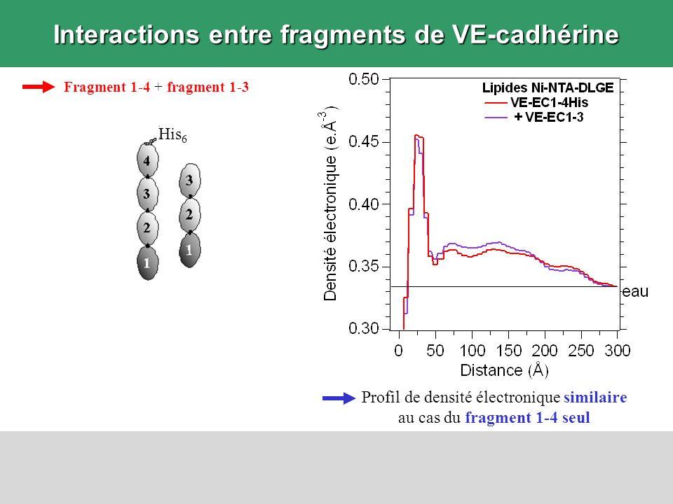 Interactions entre fragments de VE-cadhérine Fragment 1-4 + fragment 1-3 Profil de densité électronique similaire au cas du fragment 1-4 seul His 6