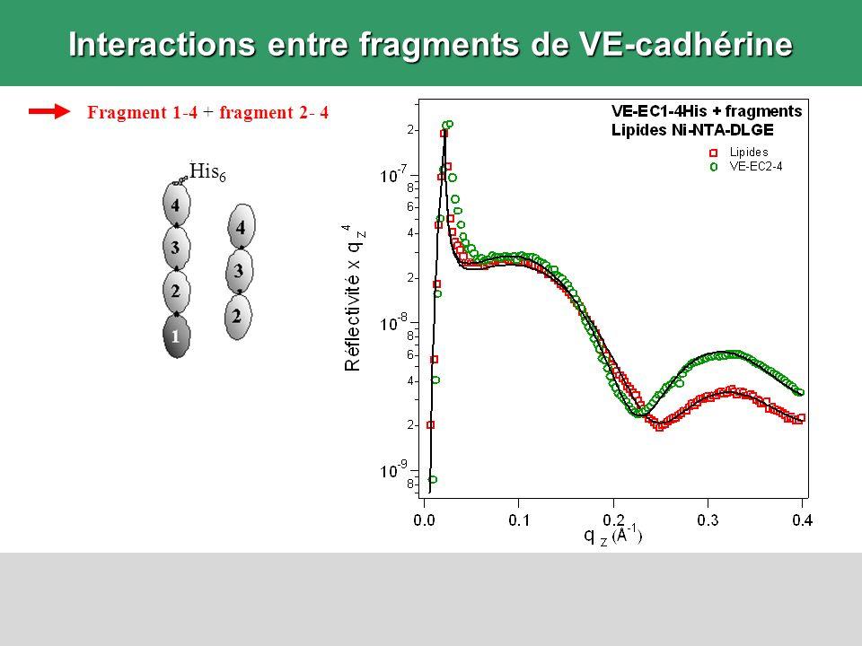 Interactions entre fragments de VE-cadhérine Fragment 1-4 + fragment 2- 4 His 6