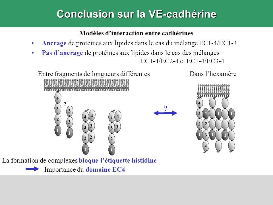 Modèles dinteraction entre cadhérines Ancrage de protéines aux lipides dans le cas du mélange EC1-4/EC1-3 Pas dancrage de protéines aux lipides dans l