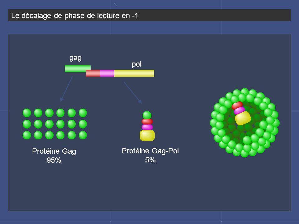 Le décalage de phase de lecture en -1 gag pol Protéine Gag 95% Protéine Gag-Pol 5%