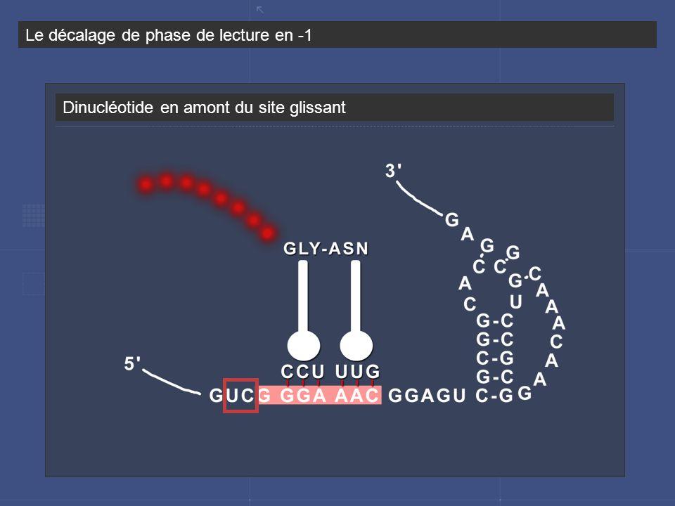 Dinucléotide en amont du site glissant Le décalage de phase de lecture en -1