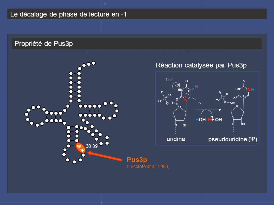 Propriété de Pus3p Le décalage de phase de lecture en -1 Réaction catalysée par Pus3p