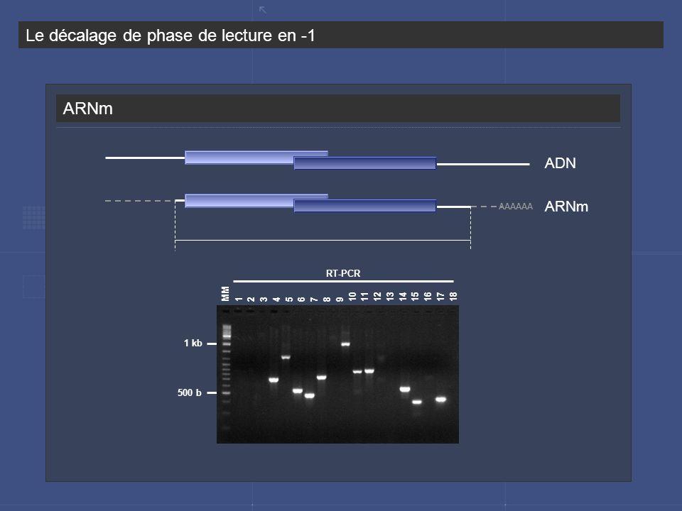 ARNm Le décalage de phase de lecture en -1 ADN ARNm AAAAAA 2 MM RT-PCR 43567891011121316117141518 1 kb 500 b