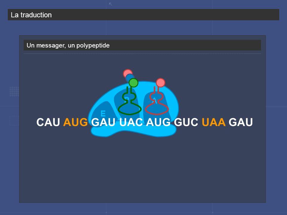 Un messager, un polypeptide P A E CAU AUG GAU UAC AUG GUC UAA GAU La traduction