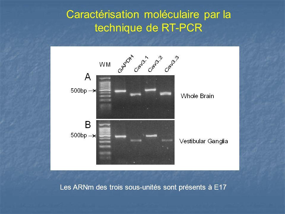 Caractérisation moléculaire par la technique de RT-PCR Les ARNm des trois sous-unités sont présents à E17