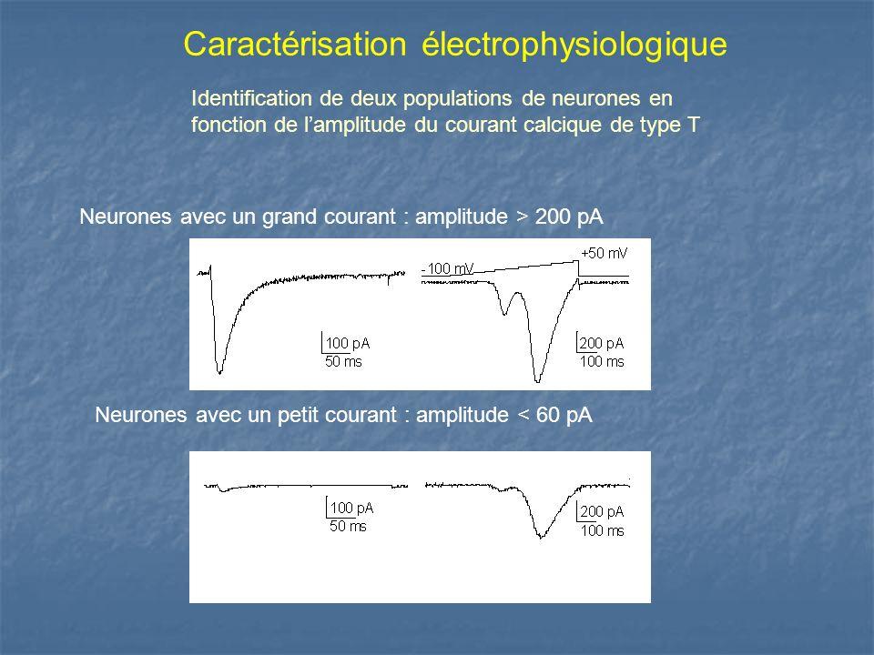 Caractérisation électrophysiologique Identification de deux populations de neurones en fonction de lamplitude du courant calcique de type T Neurones a