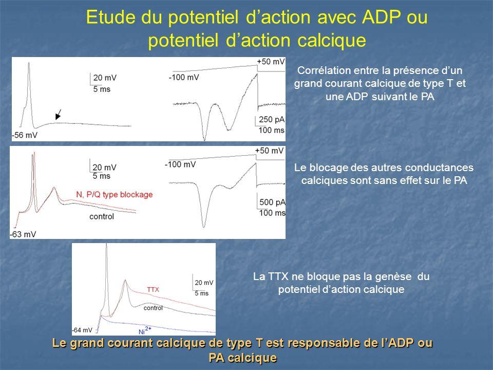 Etude du potentiel daction avec ADP ou potentiel daction calcique Corrélation entre la présence dun grand courant calcique de type T et une ADP suivan