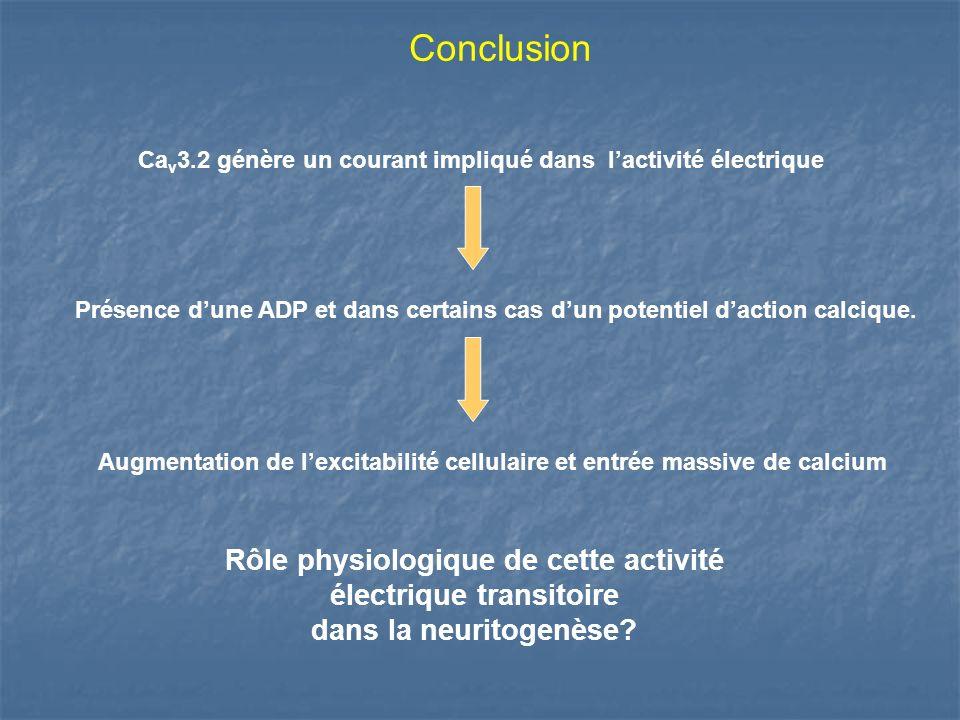 Conclusion Ca v 3.2 génère un courant impliqué dans lactivité électrique Présence dune ADP et dans certains cas dun potentiel daction calcique. Augmen