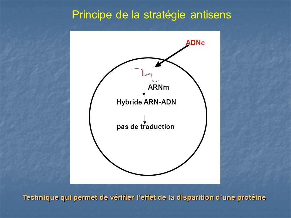 Principe de la stratégie antisens ADNc ARNm Hybride ARN-ADN pas de traduction Technique qui permet de vérifier leffet de la disparition dune protéine