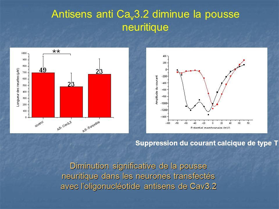 Antisens anti Ca v 3.2 diminue la pousse neuritique Suppression du courant calcique de type T Diminution significative de la pousse neuritique dans le