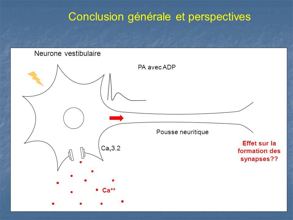 Neurone vestibulaire Ca ++ Ca v 3.2 PA avec ADP Pousse neuritique Effet sur la formation des synapses?? Conclusion générale et perspectives