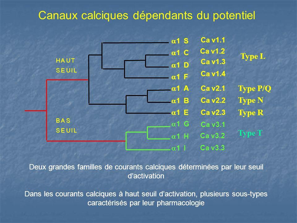 Canaux calciques dépendants du potentiel HAUT SEUIL BAS SEUIL 1 S 1 C 1 D 1 F 1 A 1 B 1 E Ca v1.1 Ca v1.2 Ca v1.3 Ca v1.4 Ca v2.1 Ca v2.2 Ca v2.3 Type