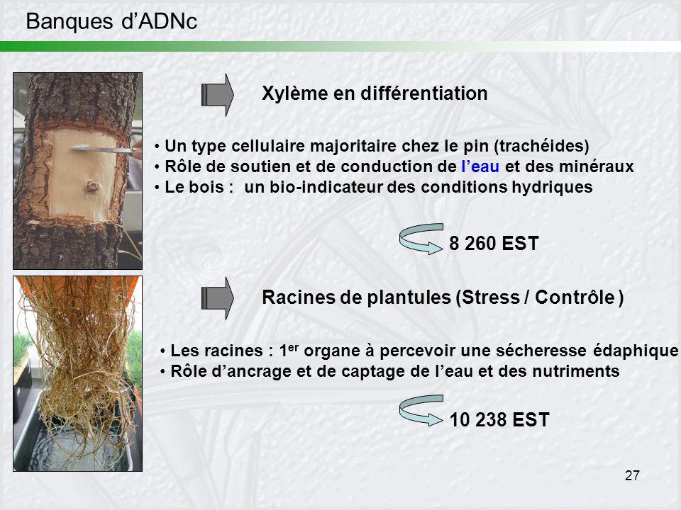 27 Banques dADNc Xylème en différentiation Racines de plantules (Stress / Contrôle ) Les racines : 1 er organe à percevoir une sécheresse édaphique Rô