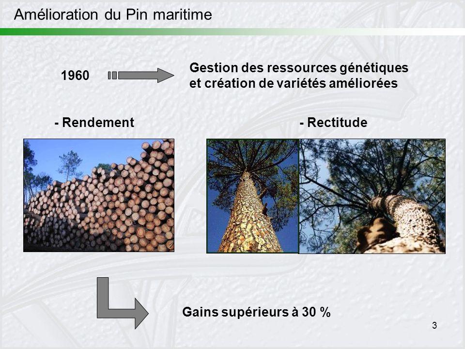 3 Amélioration du Pin maritime - Rendement- Rectitude Gestion des ressources génétiques et création de variétés améliorées Gains supérieurs à 30 % 196