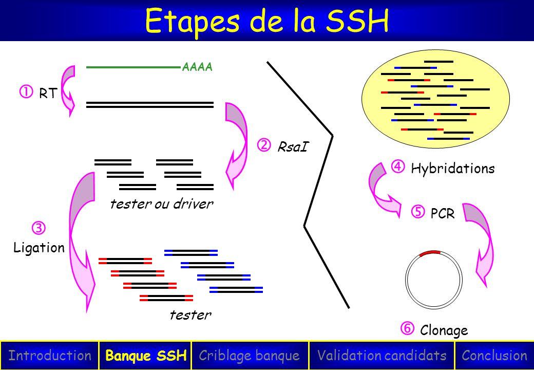 Etapes de la SSH IntroductionConclusionBanque SSHCriblage banqueValidation candidats AAAA tester ou driver tester RT RsaI Ligation PCR Clonage Hybrida