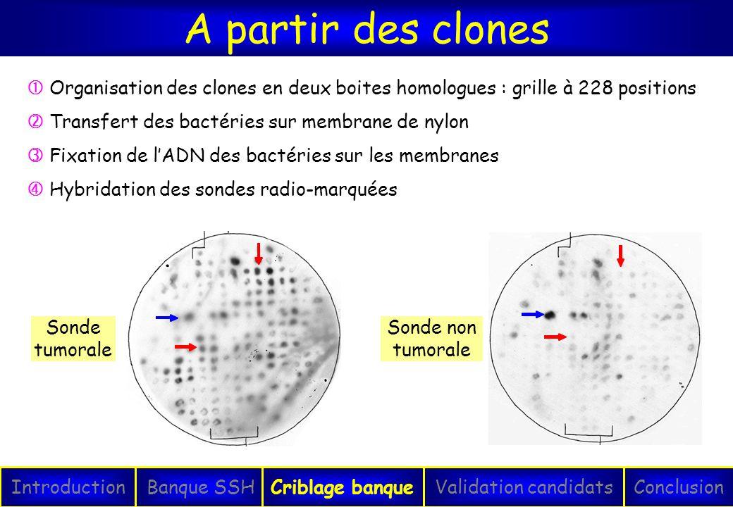 A partir des clones IntroductionConclusionBanque SSHCriblage banqueValidation candidats Sonde tumorale Sonde non tumorale Organisation des clones en d