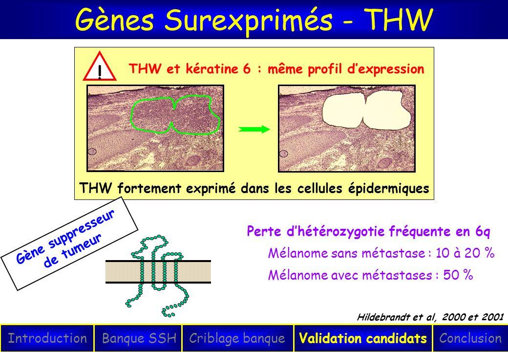 Gènes Surexprimés - THW IntroductionConclusionBanque SSHCriblage banqueValidation candidats Hildebrandt et al, 2000 et 2001 Perte dhétérozygotie fréqu