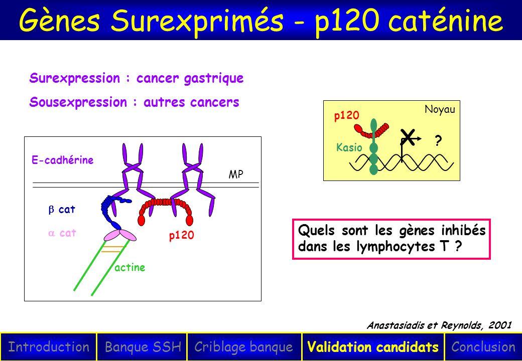 MP p120 E-cadhérine cat actine cat Gènes Surexprimés - p120 caténine IntroductionConclusionBanque SSHCriblage banqueValidation candidats Surexpression