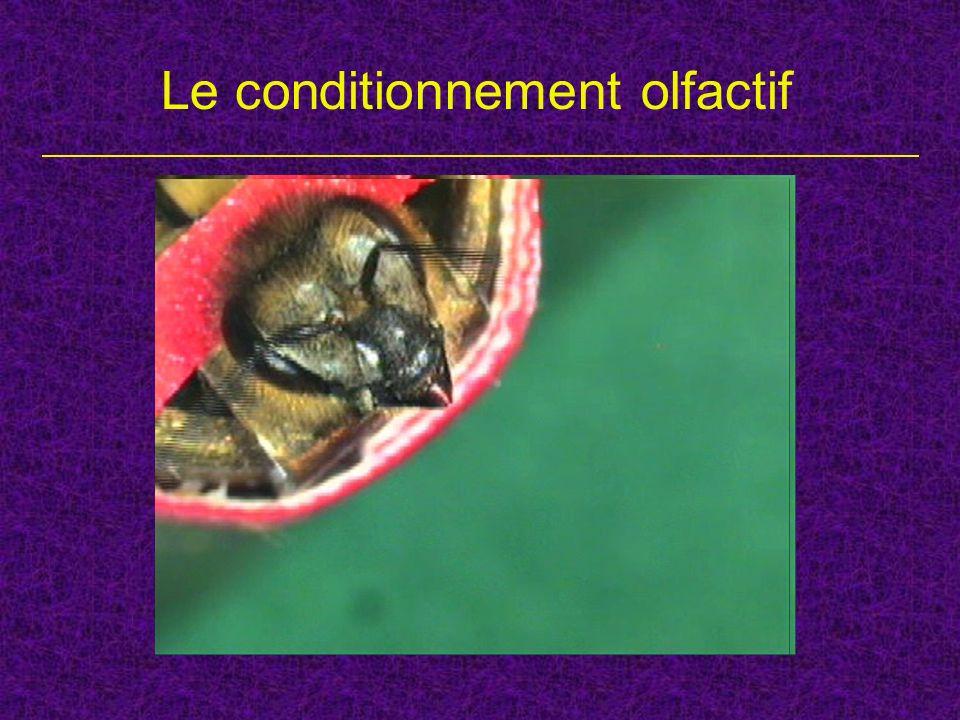 Le conditionnement mécanosensoriel Daprès Erber et al. 1998, JCPA 183