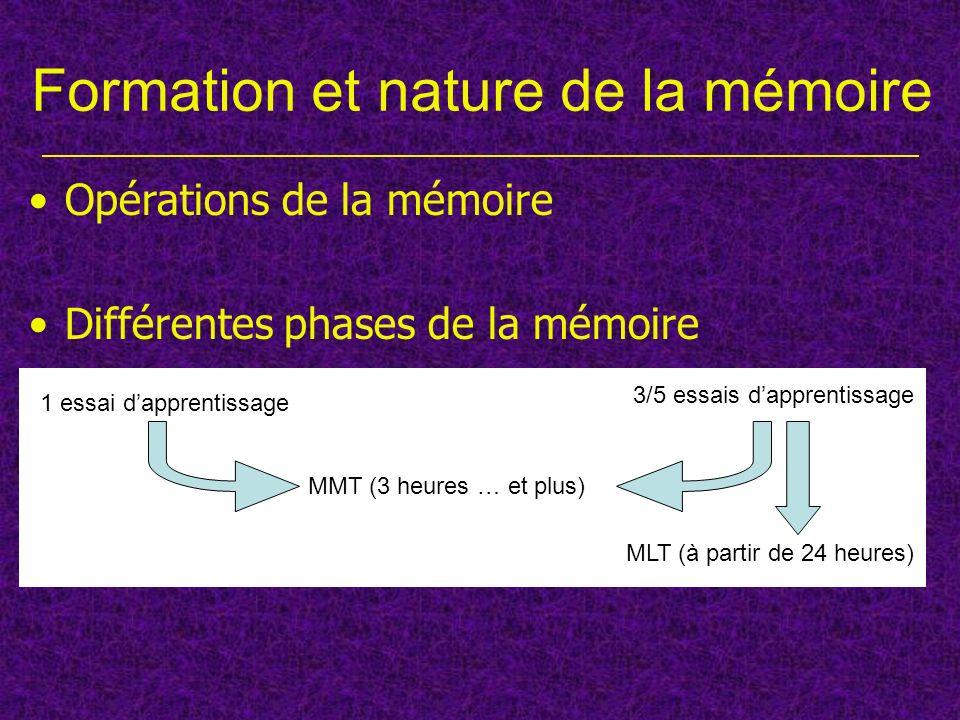 Différentes phases de la mémoire Formation et nature de la mémoire Opérations de la mémoire 1 essai dapprentissage MMT (3 heures … et plus) 3/5 essais