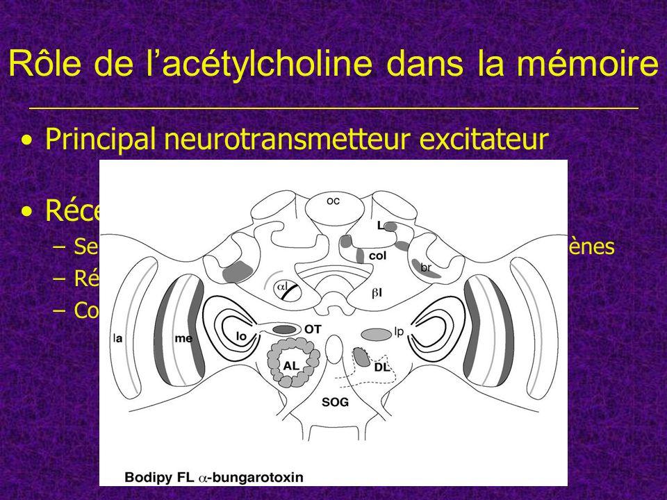 Principal neurotransmetteur excitateur Récepteurs nicotiniques –Seraient constitués de plusieurs sous-unités ; 11 gènes –Récepteurs ionotropes –Coupla